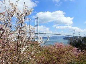 来島海峡大橋と川津桜