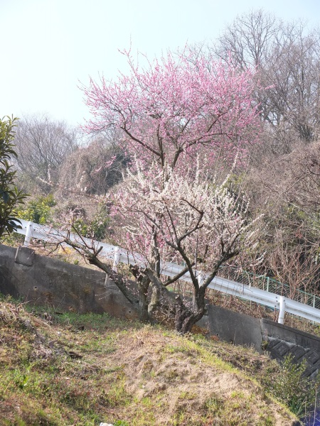 道路脇の梅