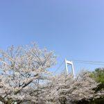 桜と橋のコラボレーション